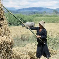 Hmong harvesting rice