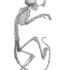 Skeleton of the Squirrel Monkey