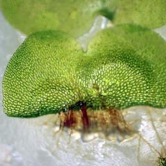 Rhizoids of fern gametophyte