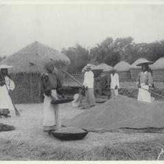 Harvesting rice, 1910-1930