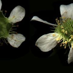 Agrimonia gryposepala  flowers