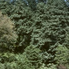 Abies religiosa forest