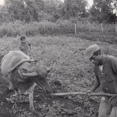 A Houei Kong resident is using a young water buffalo to plow the field at the IVS demonstration garden in Attapu Province