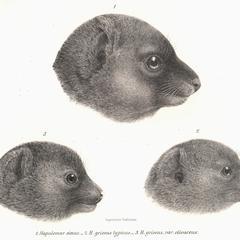 1-Hapalemur simus; 2-Hapalemur griseus typicus; 3-Hapalemur griseus, var. olivaceus