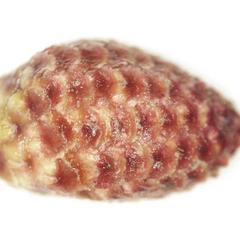 Microsporangiate cone of red pine