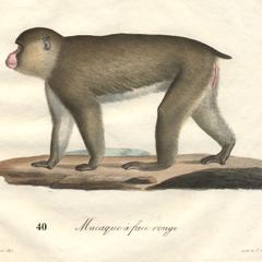 Walking Macaque Print