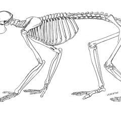 Loris paresseux