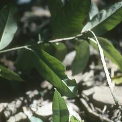 Capparis cynophallophora isthmensis