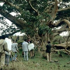 Limb of Fig Tree That Fell Coinciding with Fall of Government