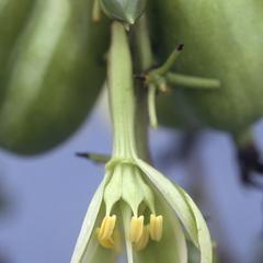 Furcraea (Agavaceae) in oak-pine woods at base of mountains