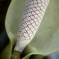 Close-up of aroid inflorescence, Jalcomulco