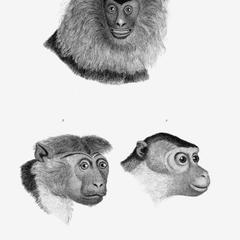 1-The Ouanderou; 2-Maimon; 3-Chinese Bonneted Monkey