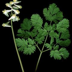 Leaf and inflorescence of Dicentra cucullaria