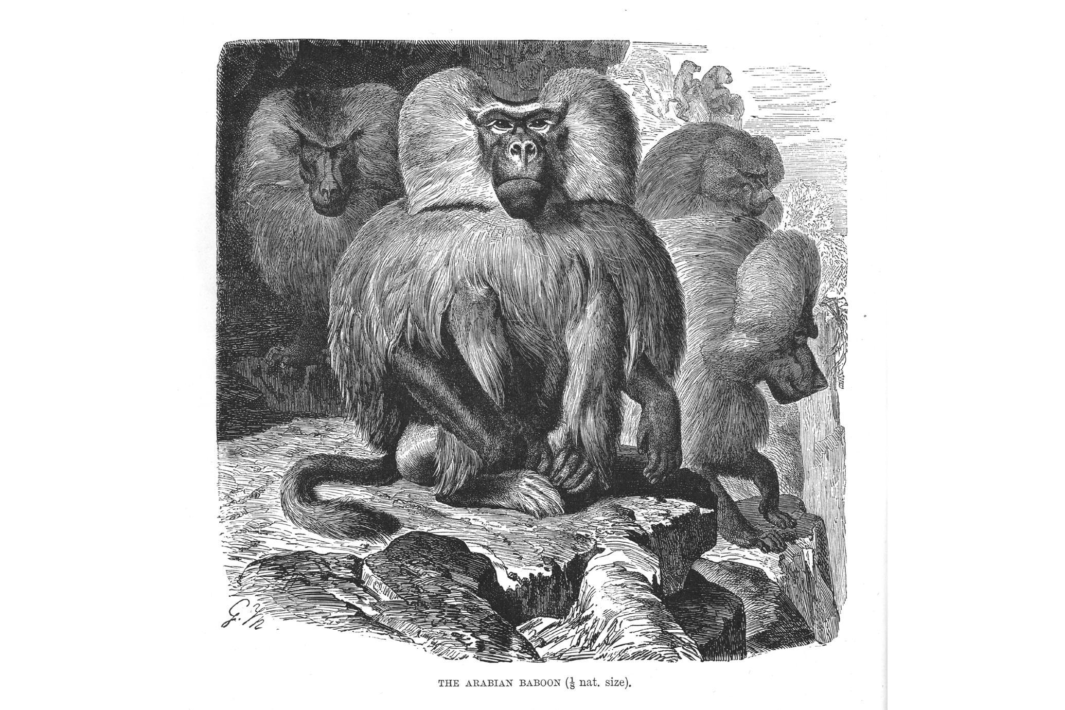 The Arabian Baboon (1/8 nat. size)