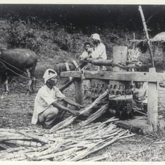 Sugar cane mill, Ilocos Norte, 1913