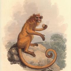 The Silky Monkey