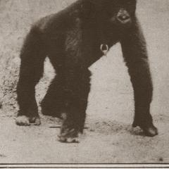 A New Immigrant from the Jungles of Africa : The Gorilla, Bushman