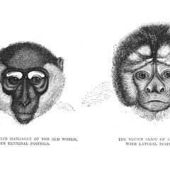 The White-Eyelid Mangabey of the Old World, With Terminal Nostrils, and The Brown Sajou of America, With Lateral Nostrils