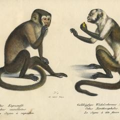 Seated Capuchin Print
