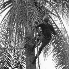 Climber Nearing Top of Tree to Cut Palm Nut Clusters