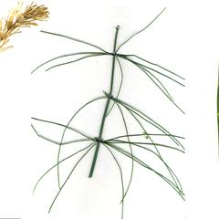 Equisetum - three morpologies : E. arvense on the left with sterile and fertile shoots; E. gigantea with whorls of branches, and E. laevigatum
