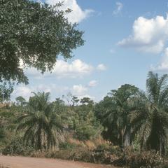 Acrocomia mexicana, a spiny palm, on road to Santa Catarina Mita