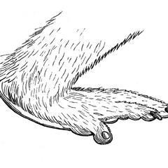 Main postérieure du babouin noir