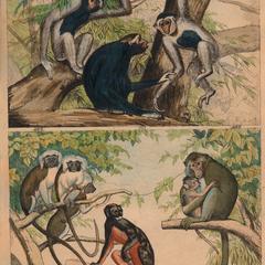 Gibbon and New World Monkey Print