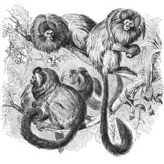 Golden Lion Tamarin Group Print