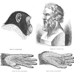 The Ape Compared With Man