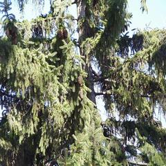 Norway spruce - tree with cones