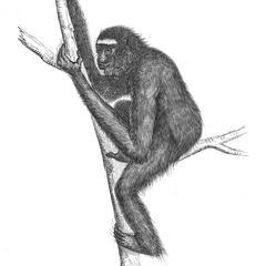 Gibbon hoolock
