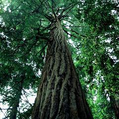 Coastal redwood tree at Muir's Woods