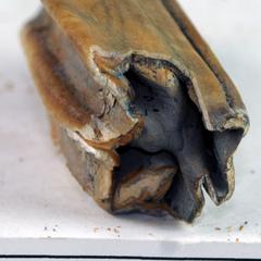 Pleistocene horse teeth