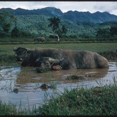 Water buffaloes cooling in water