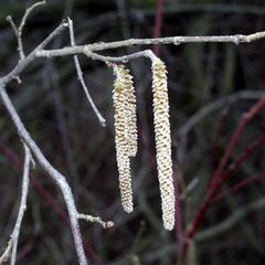 Catkins of male flowers of Corylus