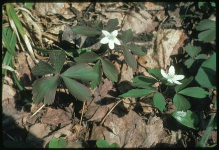 Anemone quinquefolia in bloom in woods north of Ashland