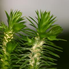 Shoot with sporophylls of shining club moss