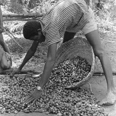 Gathering the Palm Nuts for Making Oil