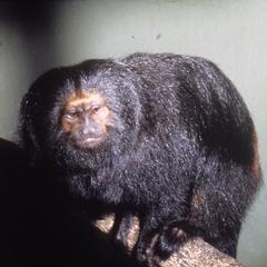 Leontopithecus chrysopygus