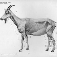 Muskulatur der Ziege, Tafel 1