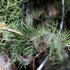Leafy bough of bald cypress