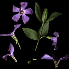 Scanned flowers and foliage of Vinca minor
