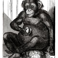 Captive Chimpanzee Print