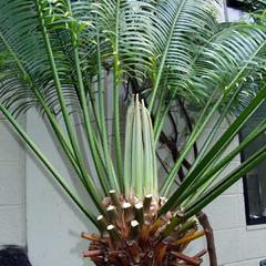 Cycas circinalis - apex of the plant with leaf primmordia