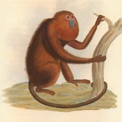 The  Red Howling Monkey