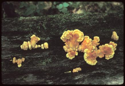 Sulfur shelf fungi on log
