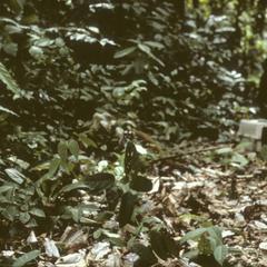 Aotus lemurinus