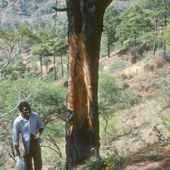 Oyamel pine injured for kindling, El Tablón