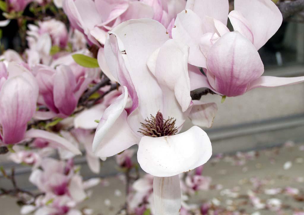 Magnolia x Soulangiana flowers